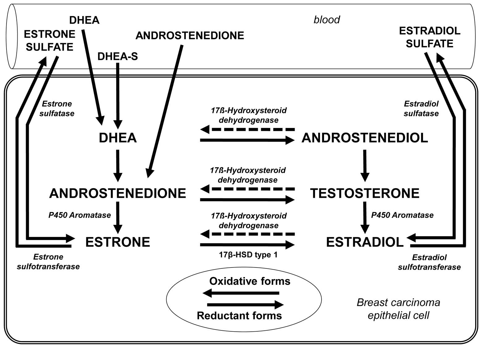 oestrogen-synthesising enzymes and breast cancer Key events of oestrogen synthesis or signalling, such as aromatase activity,   specific tumours, such as breast cancer and endometrial adenocarcinoma [23, 24 ]  e2 can be metabolised by the cyp1a1 and cyp1b1 enzymes to catechol.