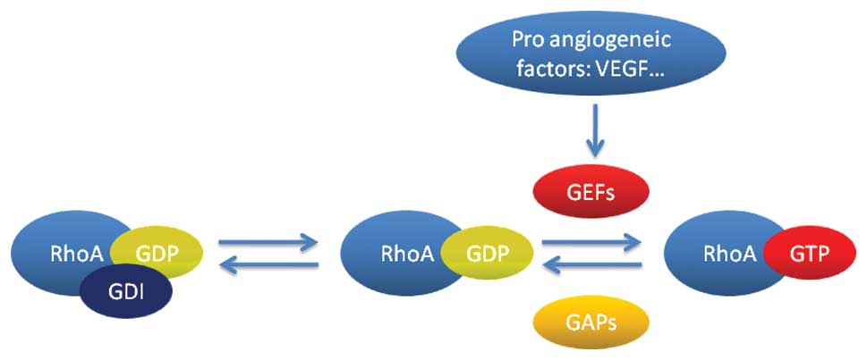 The role of the RhoA/Rho kinase pathway in anti ...