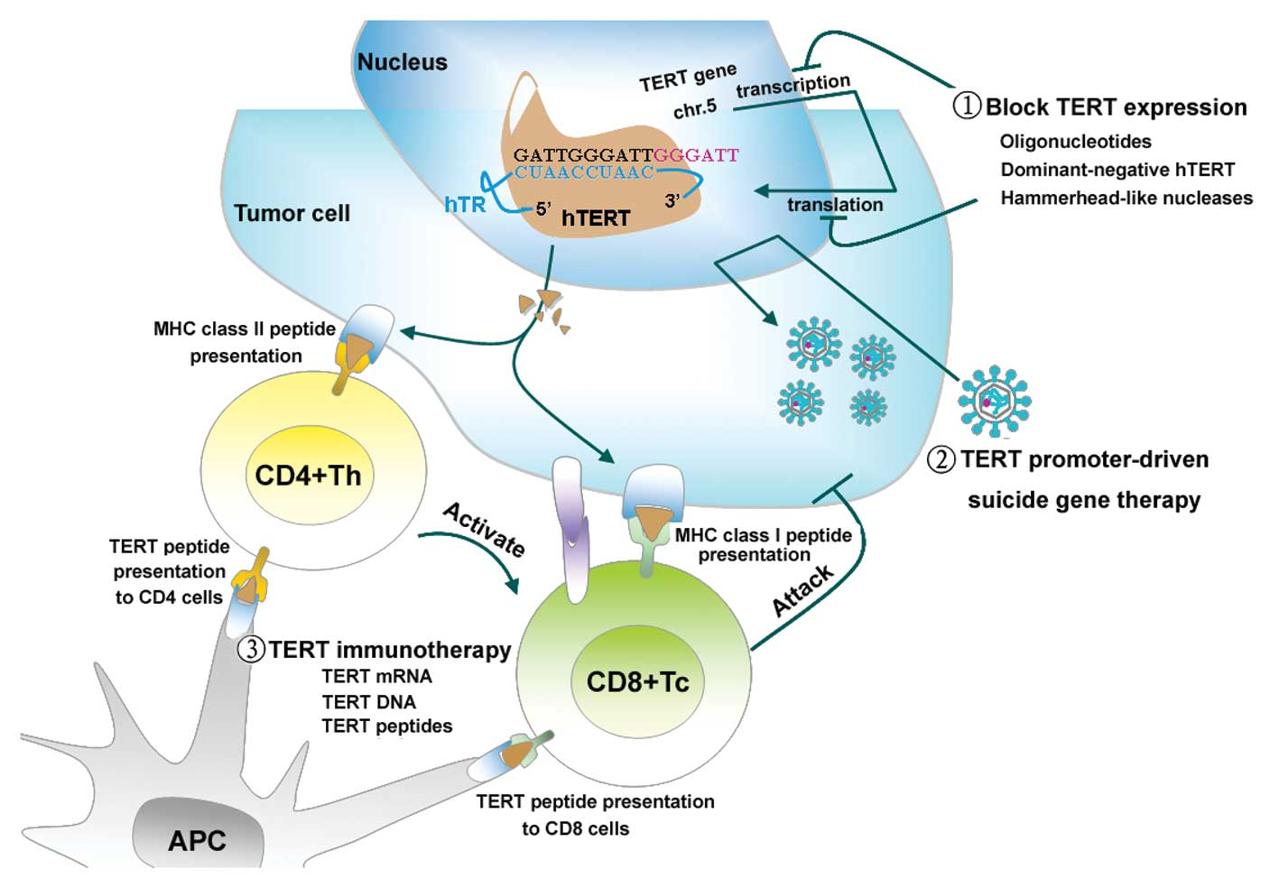 hTERT-based therapy: A universal anticancer approach (Review)