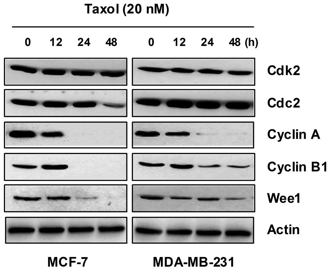Taxol Induced Growth Arrest And Apoptosis Is Associated