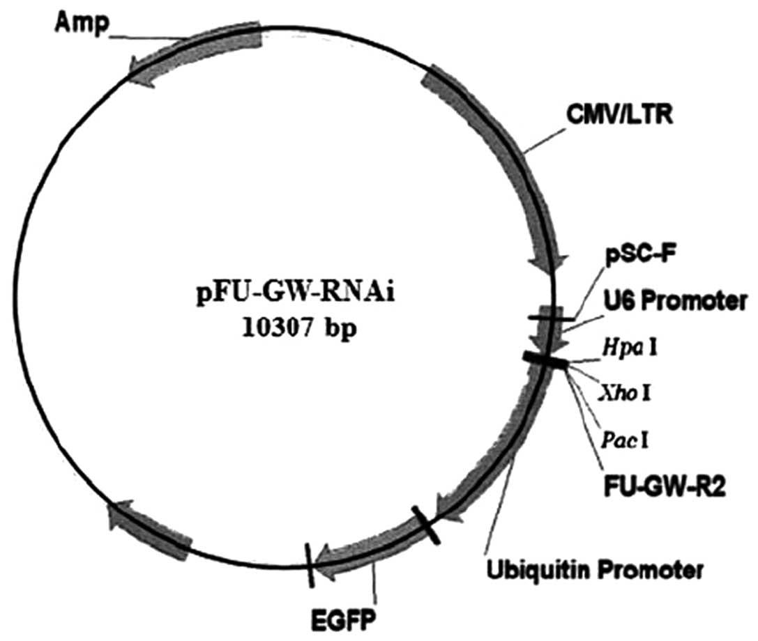 hedgehog signaling pathway regulates human pancreatic