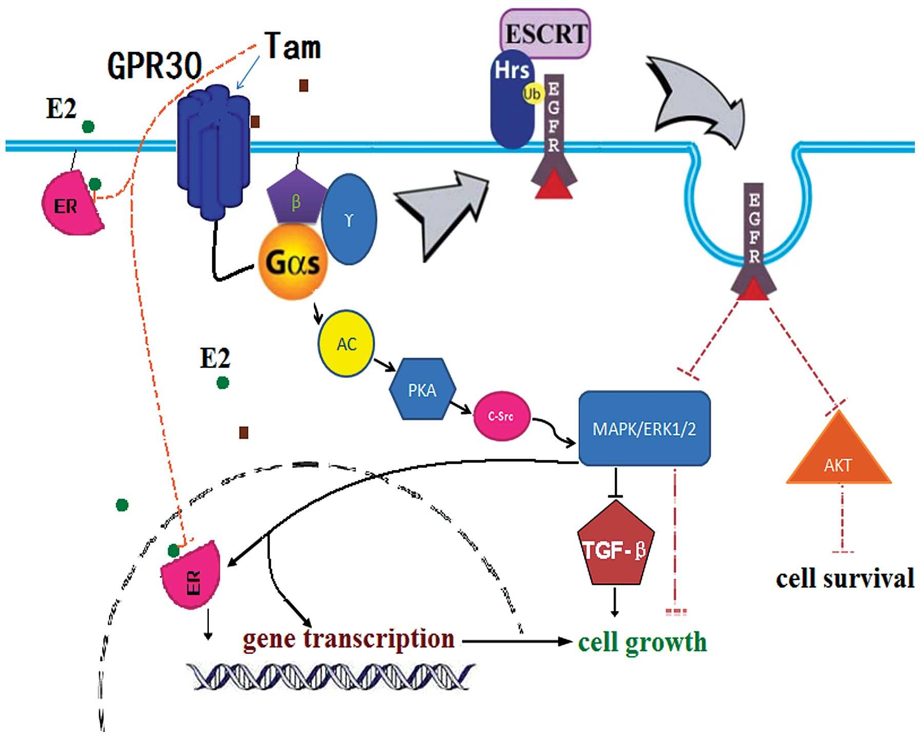Tamoxifen resistance in breast cancer elucidating mechanisms of disease