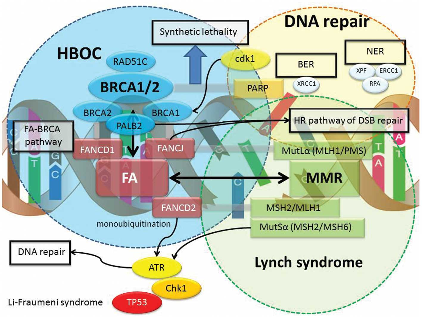 Breast cancer susceptibility gene brca2