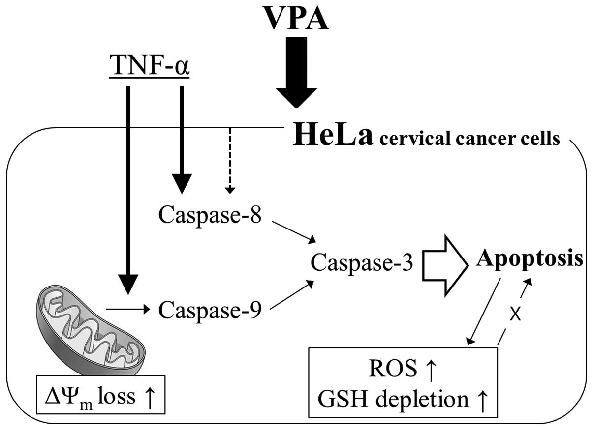 valproic acid inhibits the growth of hela cervical cancer