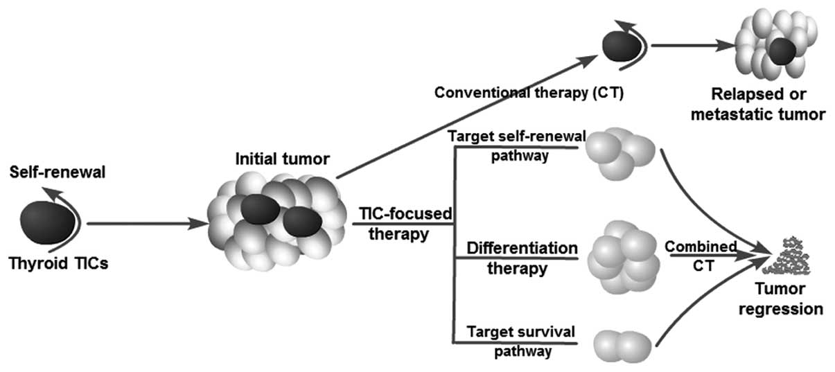 canonical and non canonical signaling promotes breast cancer tumor initiating cells Tumor-initiating cells (tics) are a sub-population of cells that exhibit a robust ability to self-renew and contribute to the formation of primary tumors, the relapse of consistent with this fact, canonical and non-canonical nf-κb signaling is activated in tics isolated from breast cancer cell lines.