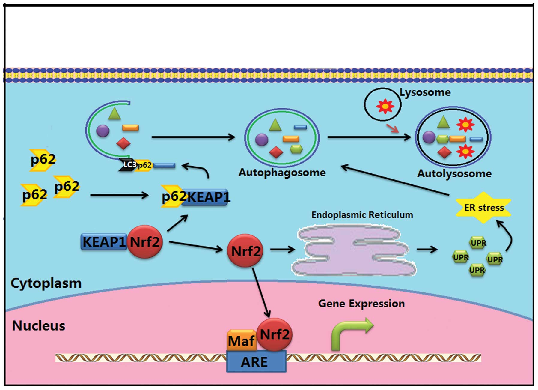 Targeting The Nf E2 Related Factor 2 Pathway A Novel