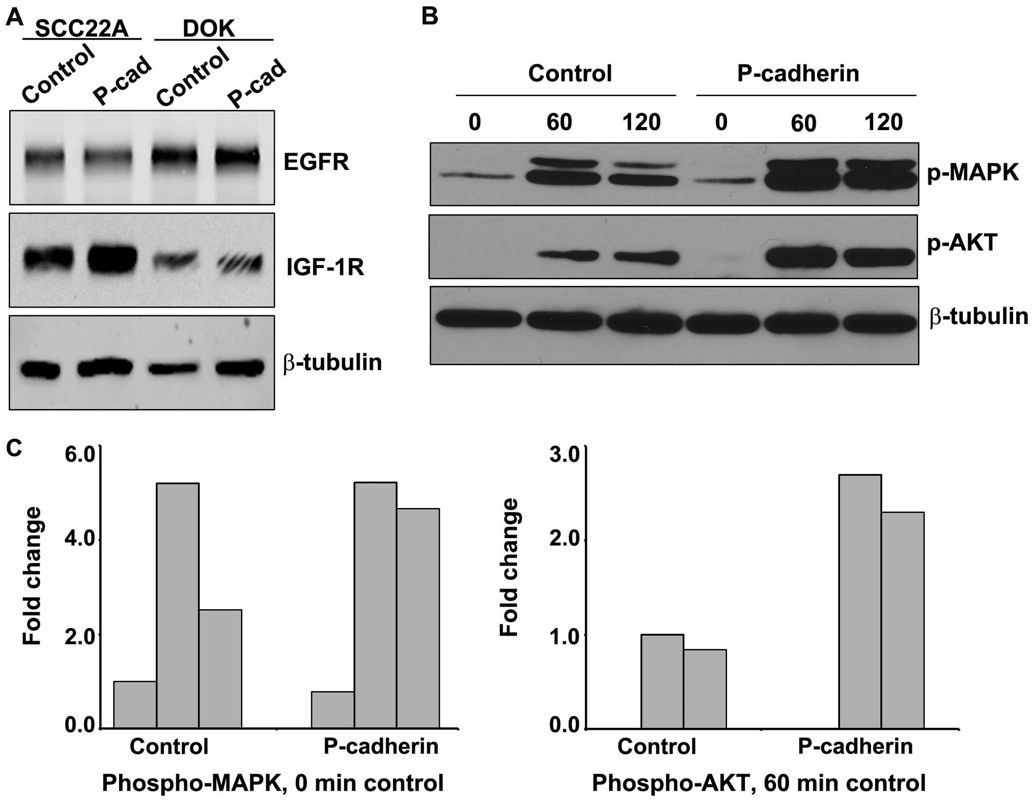 P Cadherin Potentiates Ligand Dependent Egfr And Igf 1r
