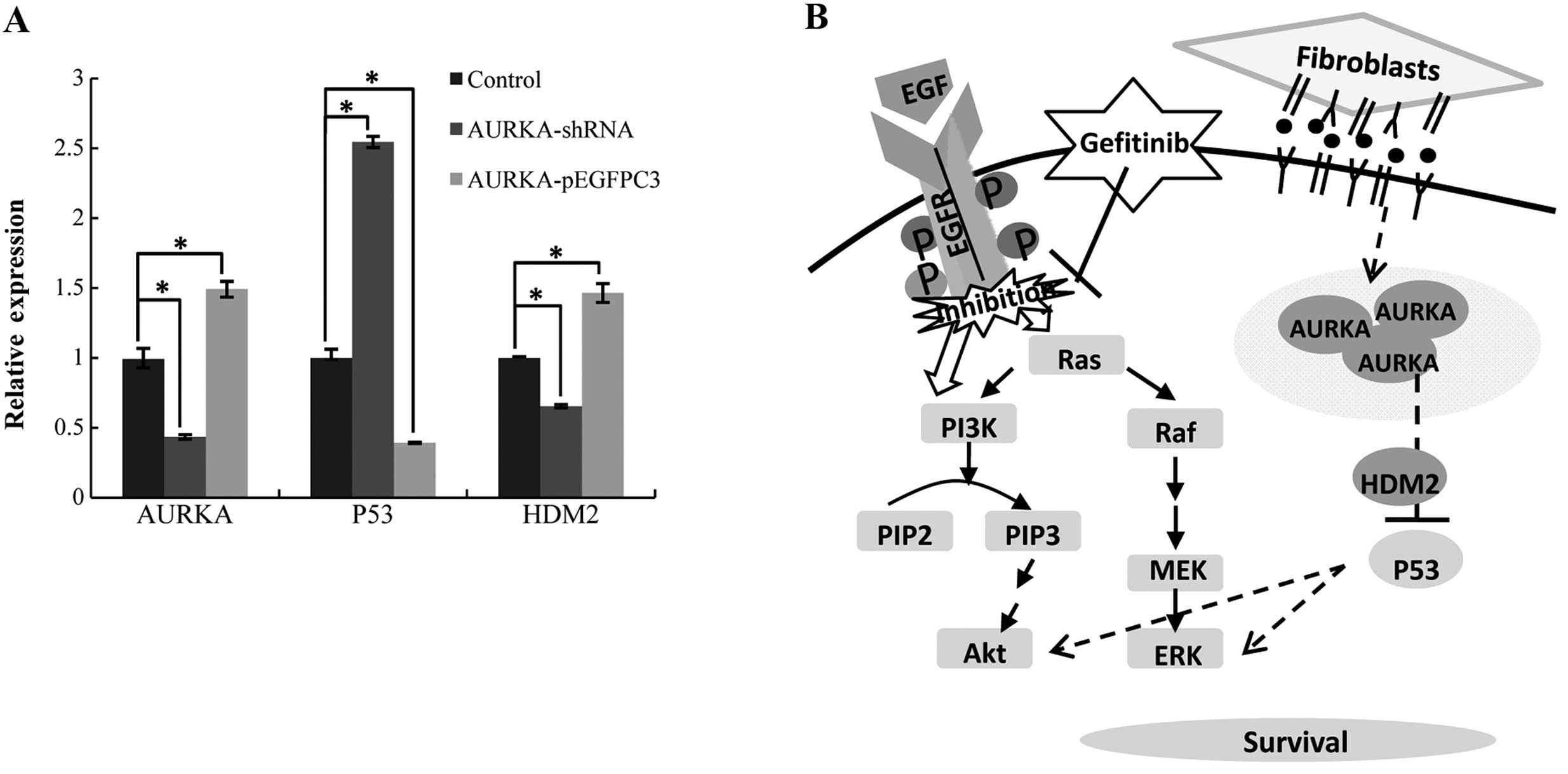 HDM2 Regulation by AURKA Promotes Cell Survival in Gastric
