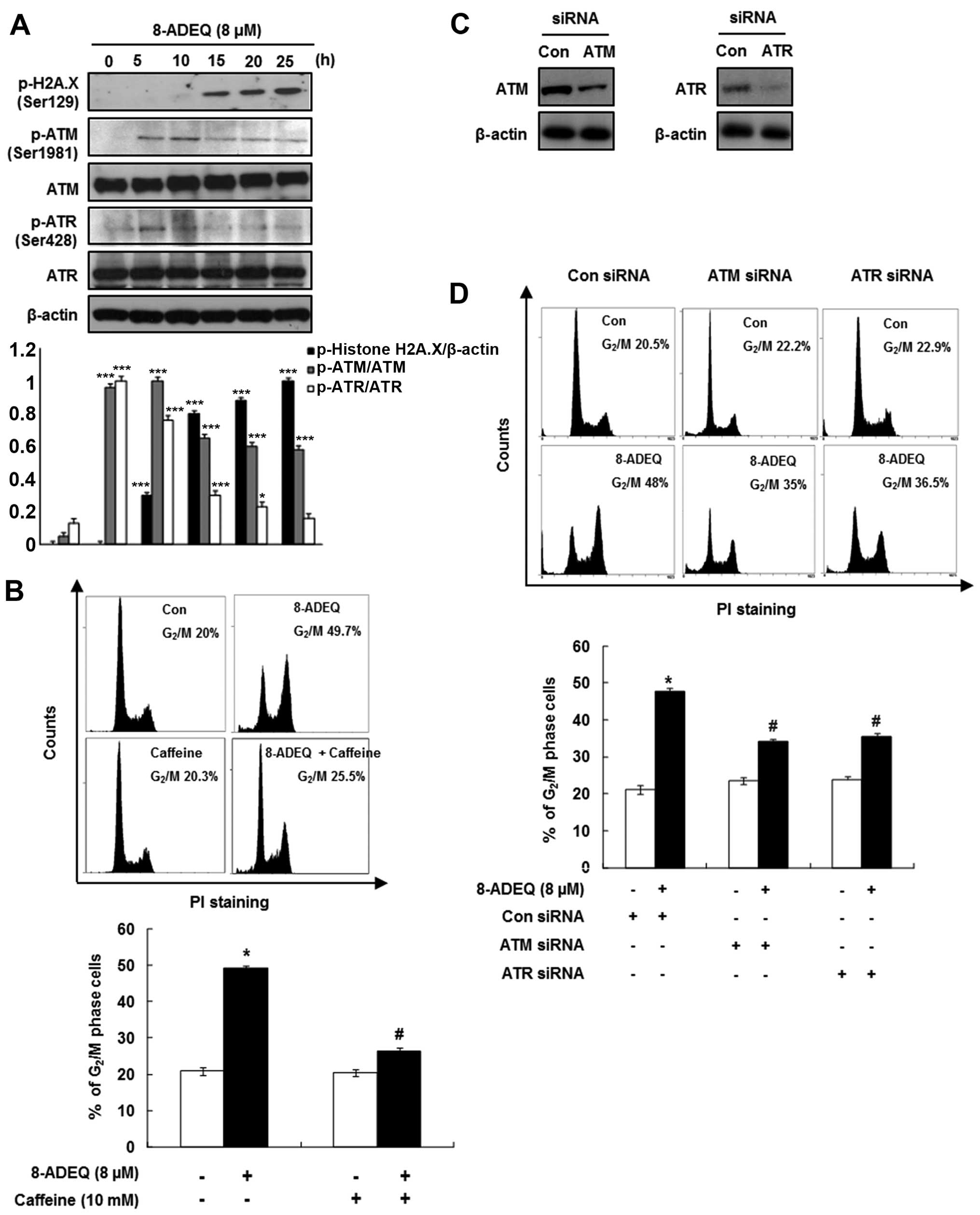 the expression levels of atm/atr were examined using western blot analysis  as described in materials and methods  β-actin was used as an internal  control