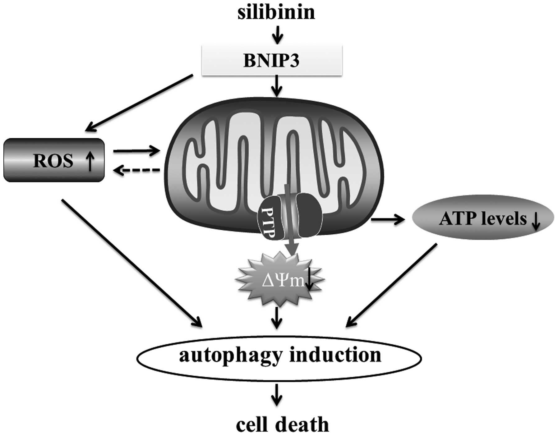 Silibinin a natural flavonoid induces autophagy via ros schematic diagram of the potential molecular mechanism of mcf7 cell death by silibinin pooptronica