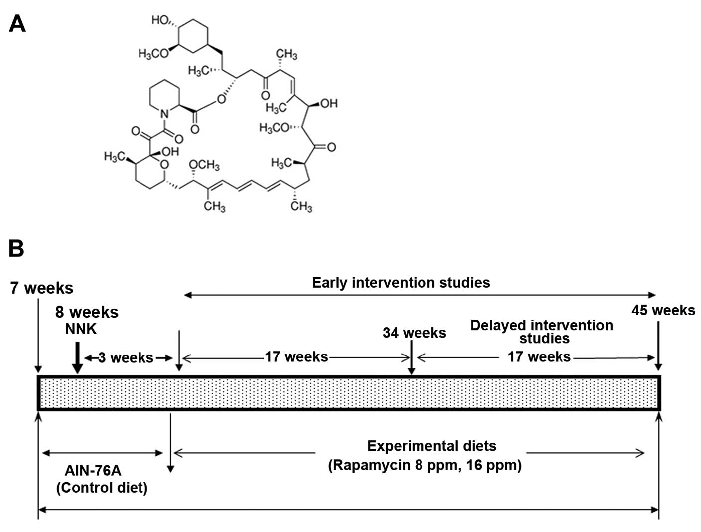 Early And Delayed Intervention With Rapamycin Prevents NNK Induced