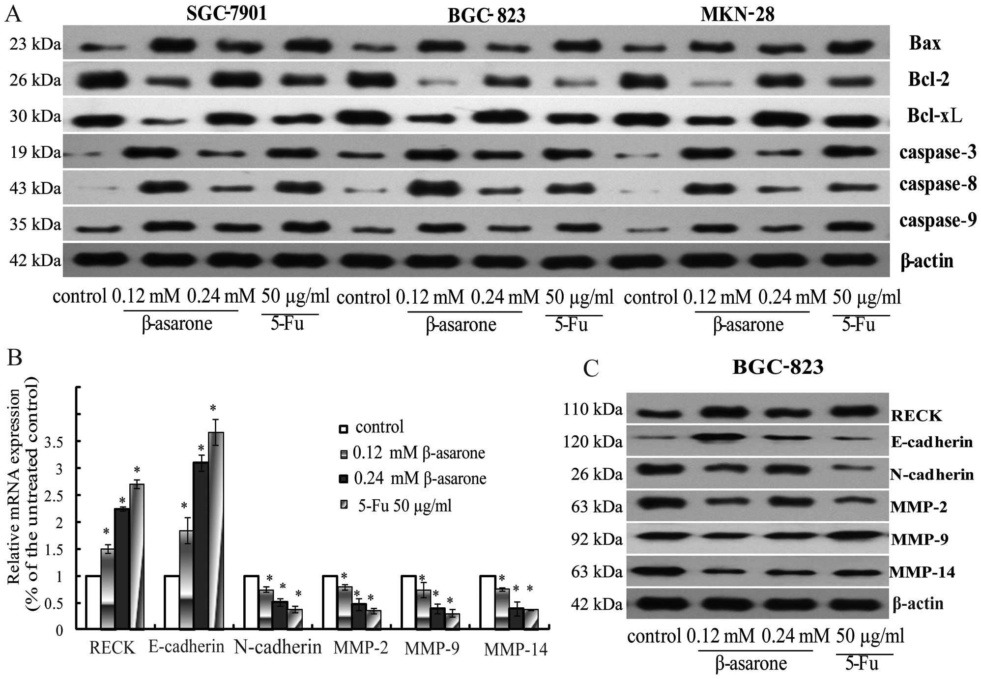 β-asarone inhibits gastric cancer cell proliferation