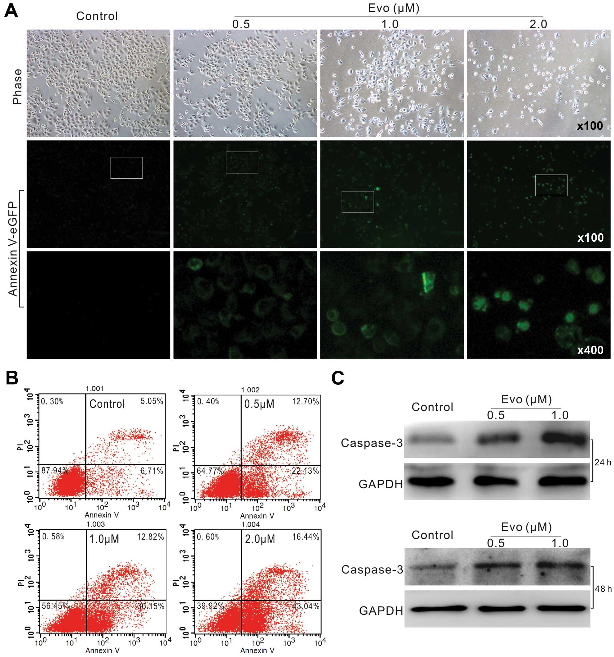 Antiproliferation effect of evodiamine in human colon