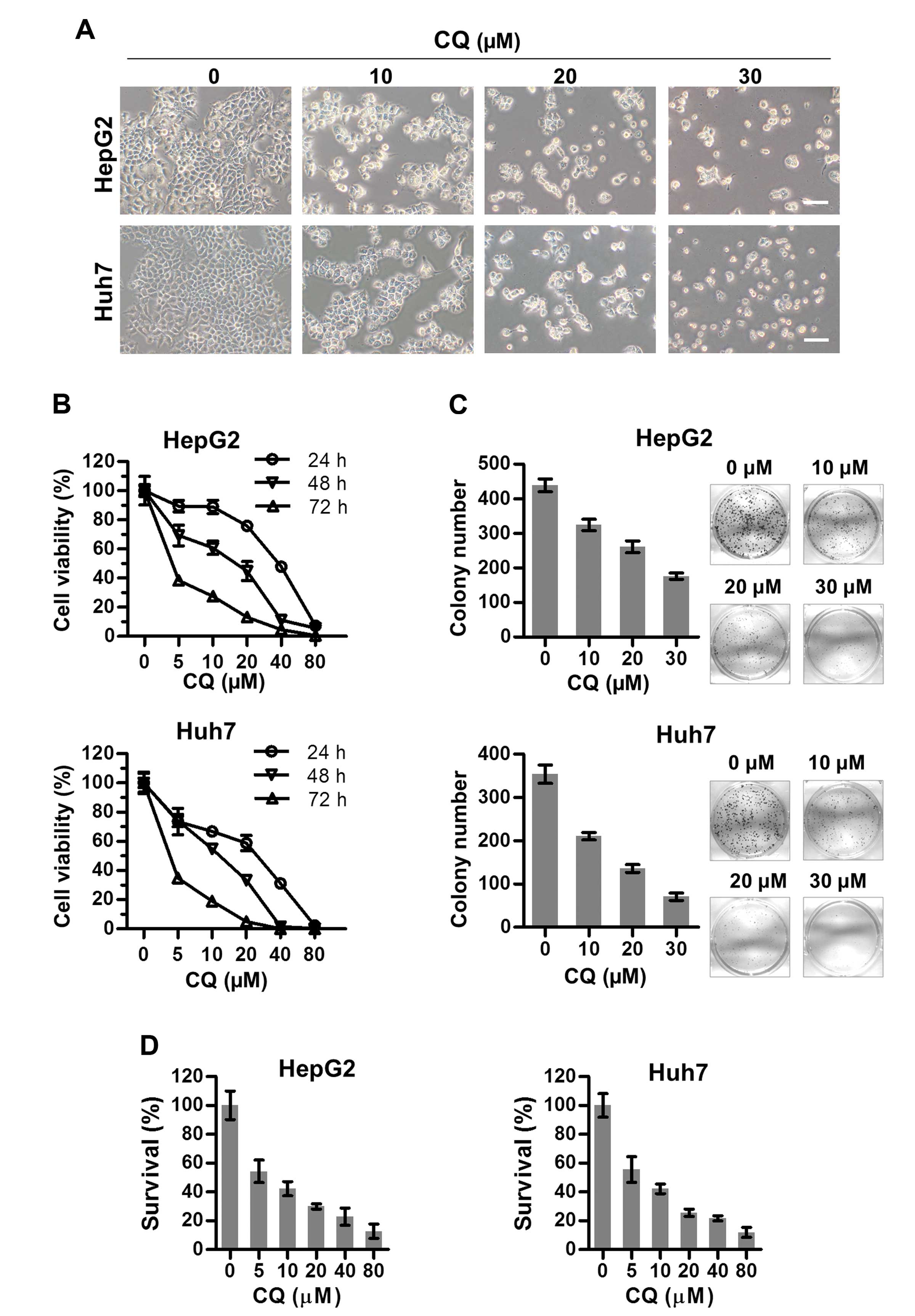 Autophagy inhibition promotes 968 induced cell death. A