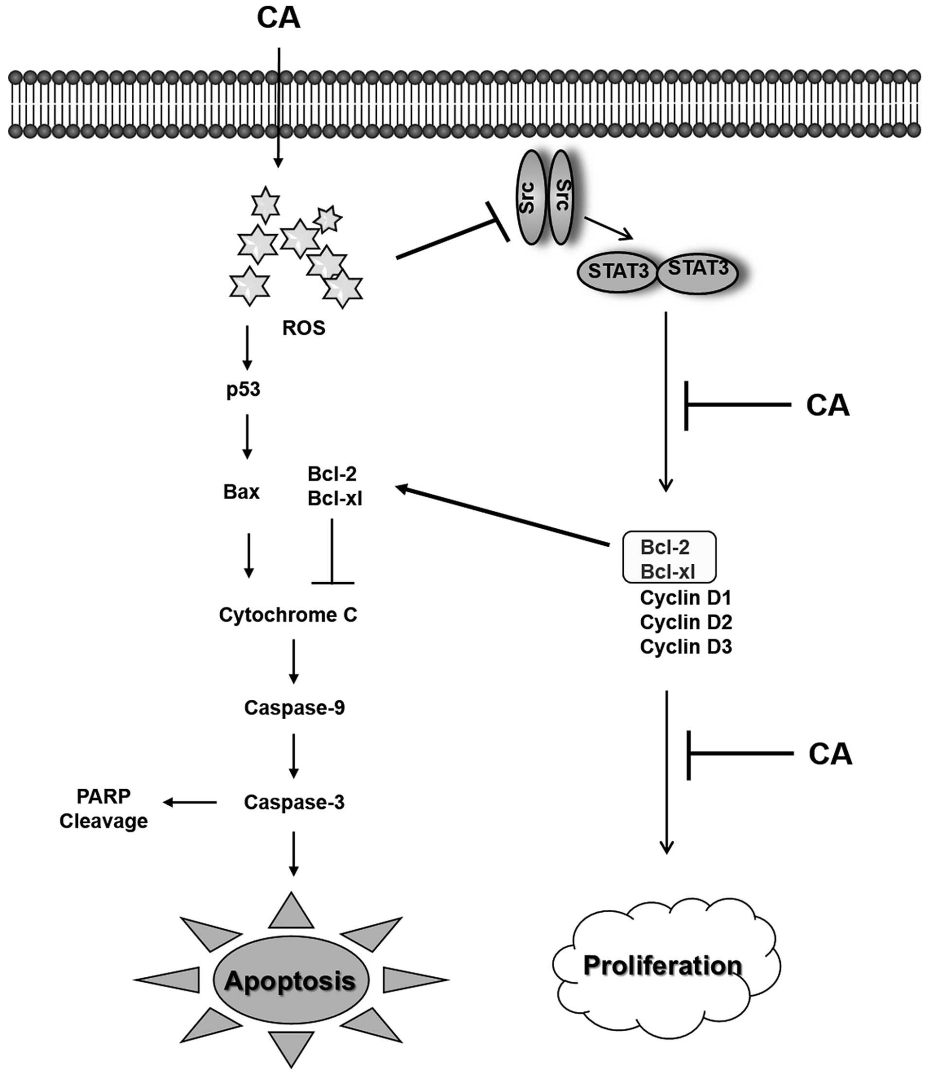 Carnosic Acid Induces Apoptosis Through Inactivation Of