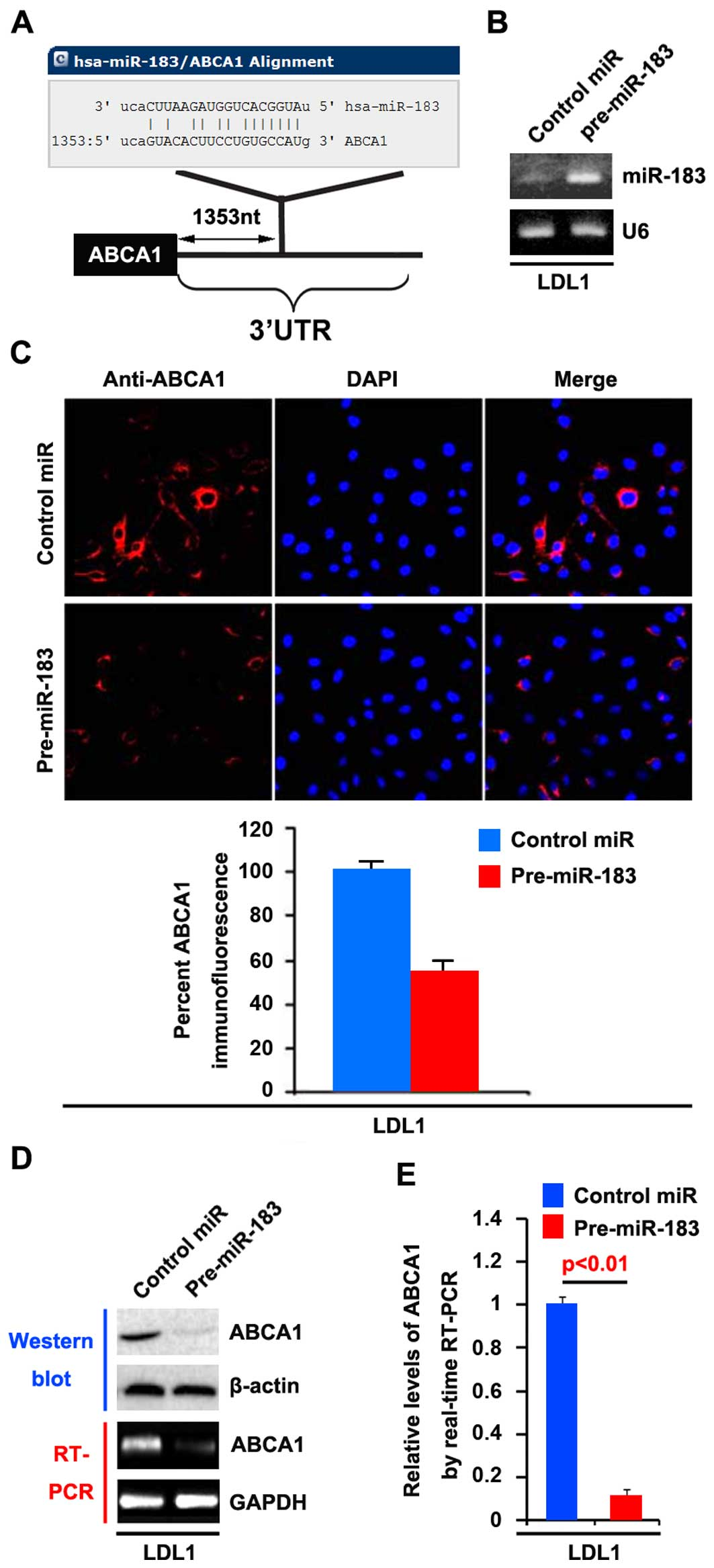 (C) Immunofluorescence analyses for LDL1 cells transfected with pre-miR-183  and control miR (mock). Upper panel shows microscopic images of ...