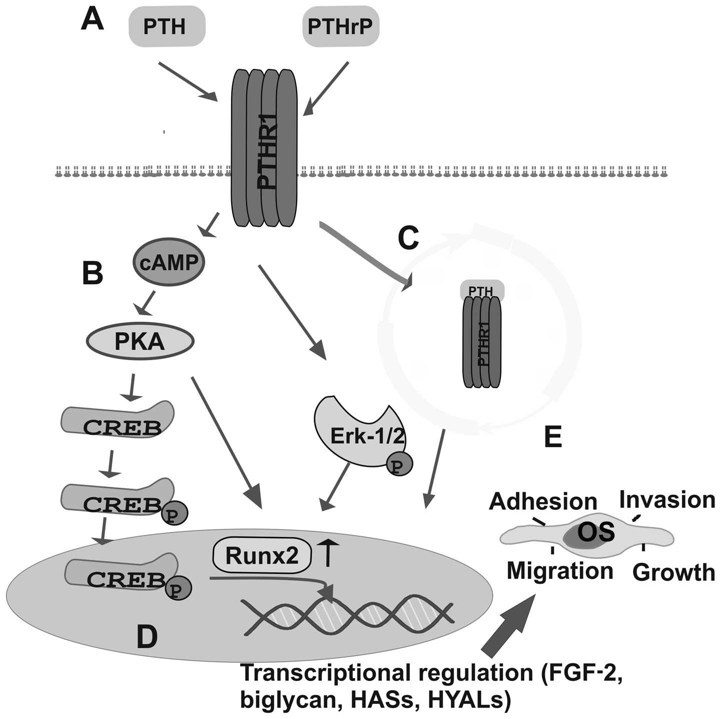 Parathyroid Hormoneparathyroid Hormone Related Peptide Regulate