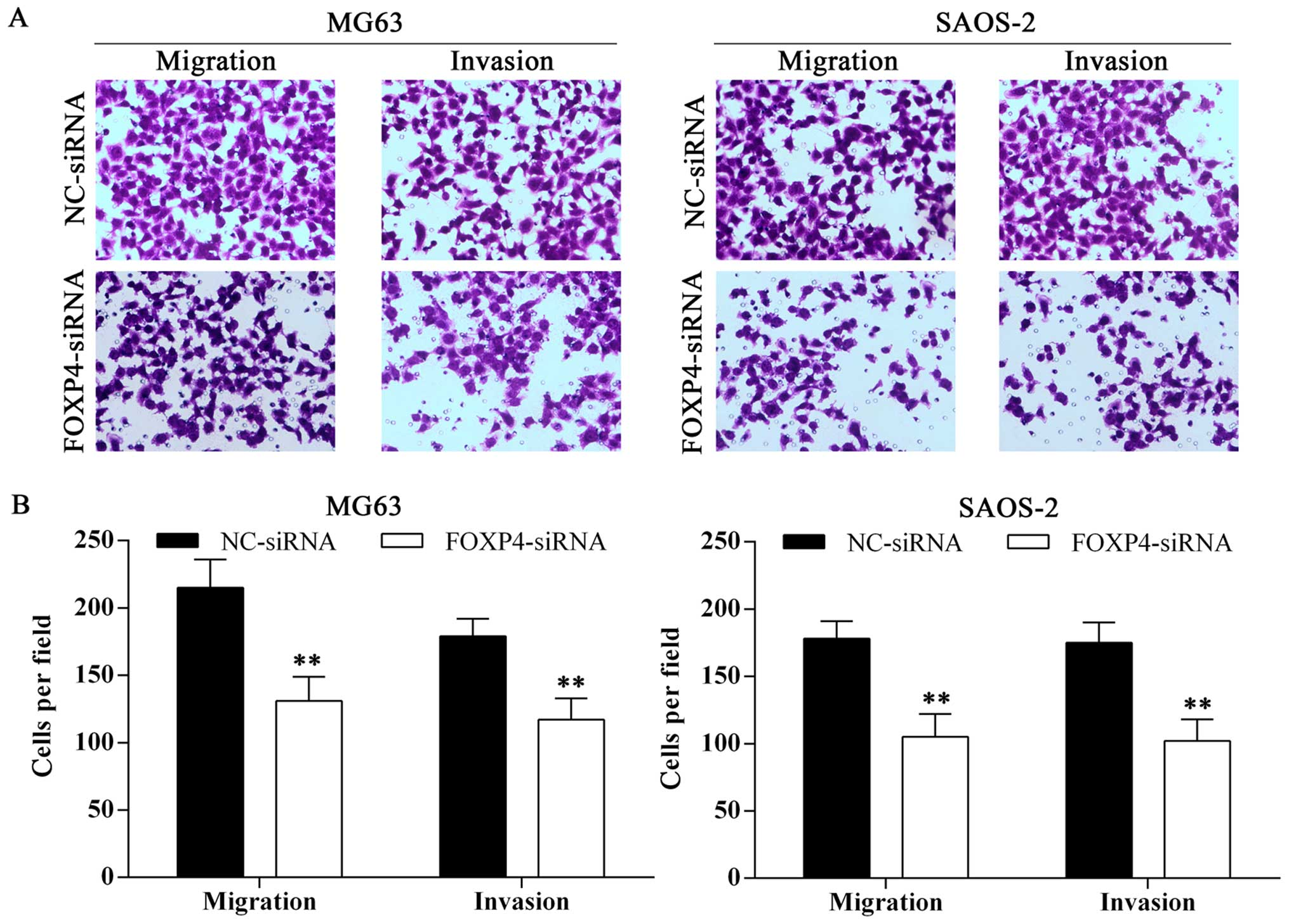 overexpression of long non coding rna mfi2 promotes cell