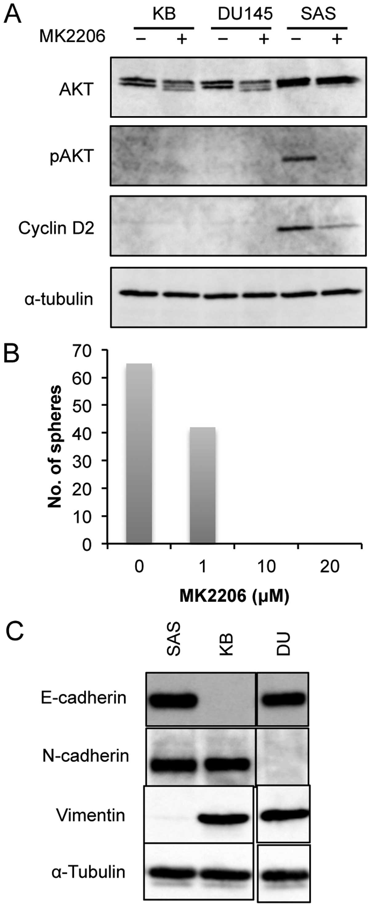 Lapatinib-resistant cancer cells possessing epithelial