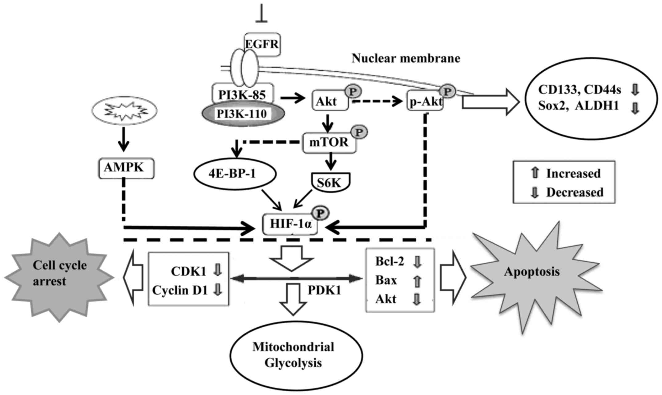 Advances in the targeting of HIF-1α and future therapeutic