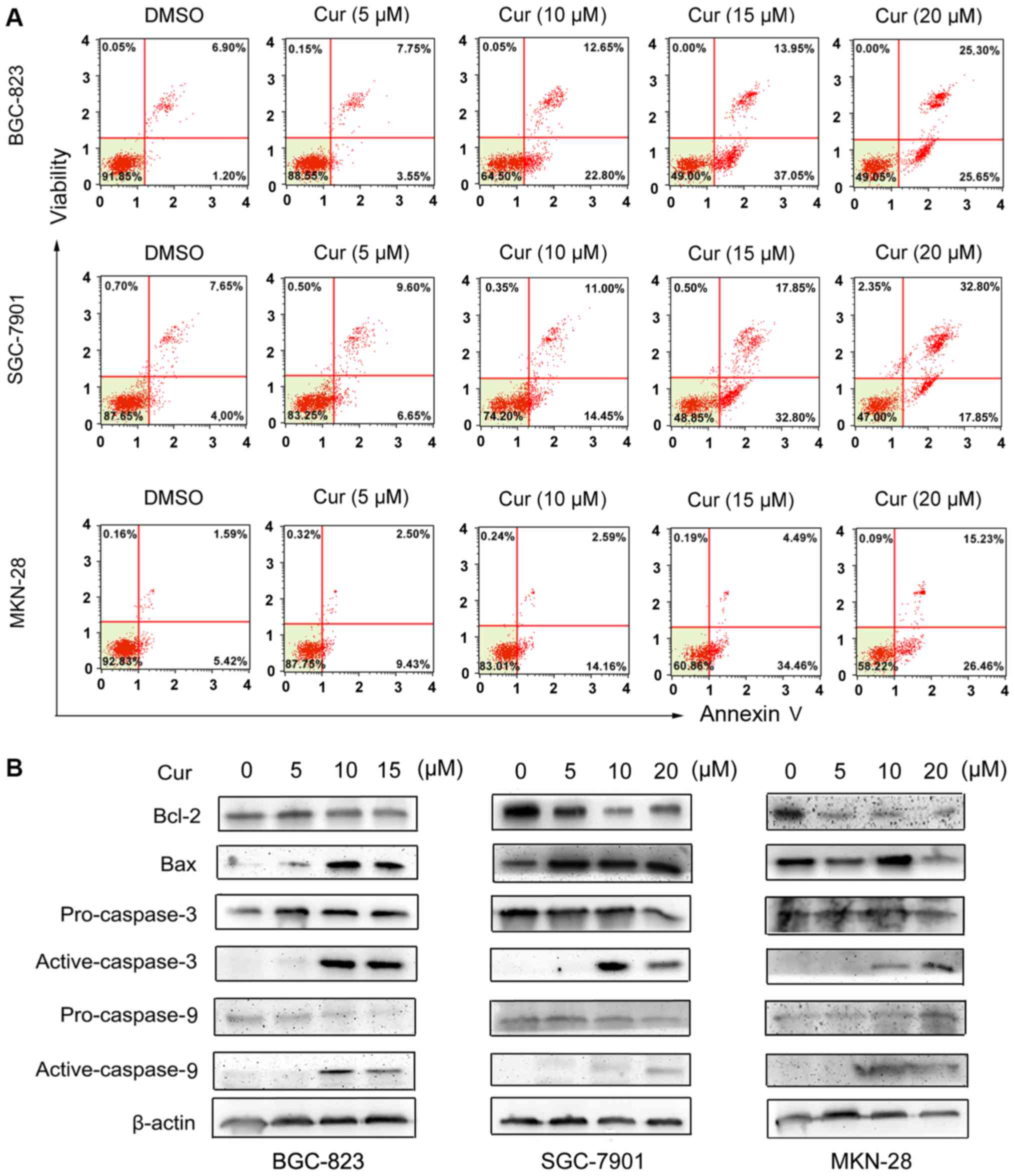 Curcumin induces apoptotic cell death and protective