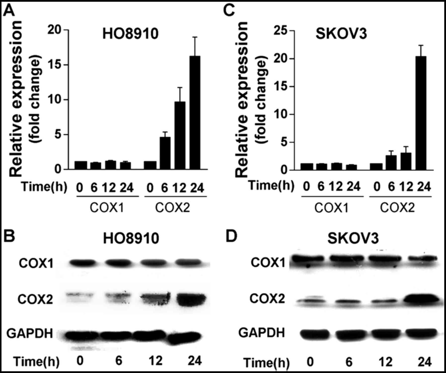 Gonadotropins Promote Human Ovarian Cancer Cell Migration And Invasion Via A Cyclooxygenase 2 Dependent Pathway