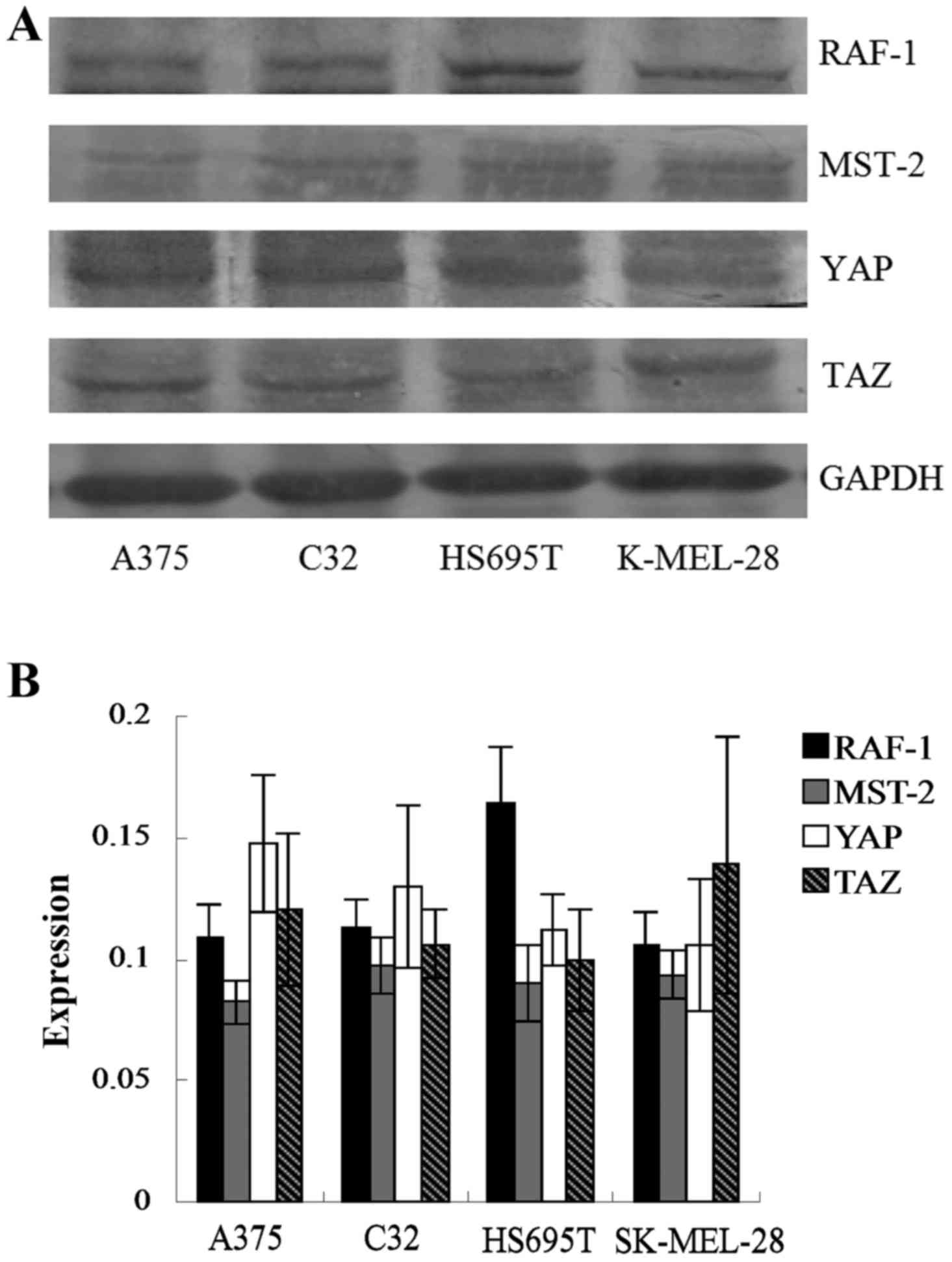 (A) Western Blotting Showing RAF 1, MST 2, YAP And TAZ Expression In Four  Human Melanoma Cell Lines. (B) Quantification Of RAF 1, MST 2, ...