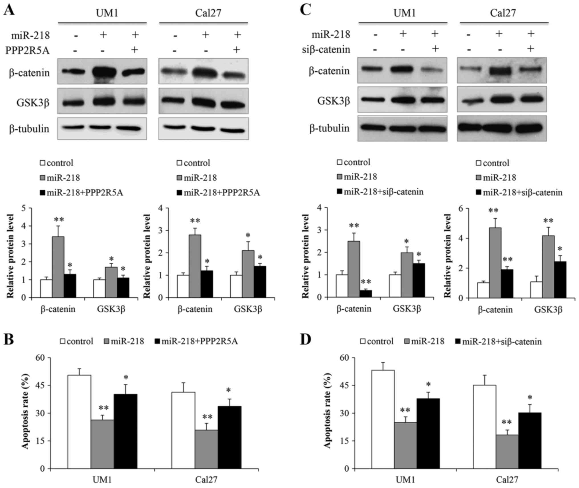miR-218 activates Wnt signaling in oral cancer cells by inhibiting PPP2R5A.  (A) UM1 and Cal27 cells were transfected with miR-218 along with PPP2R5A or  its ...