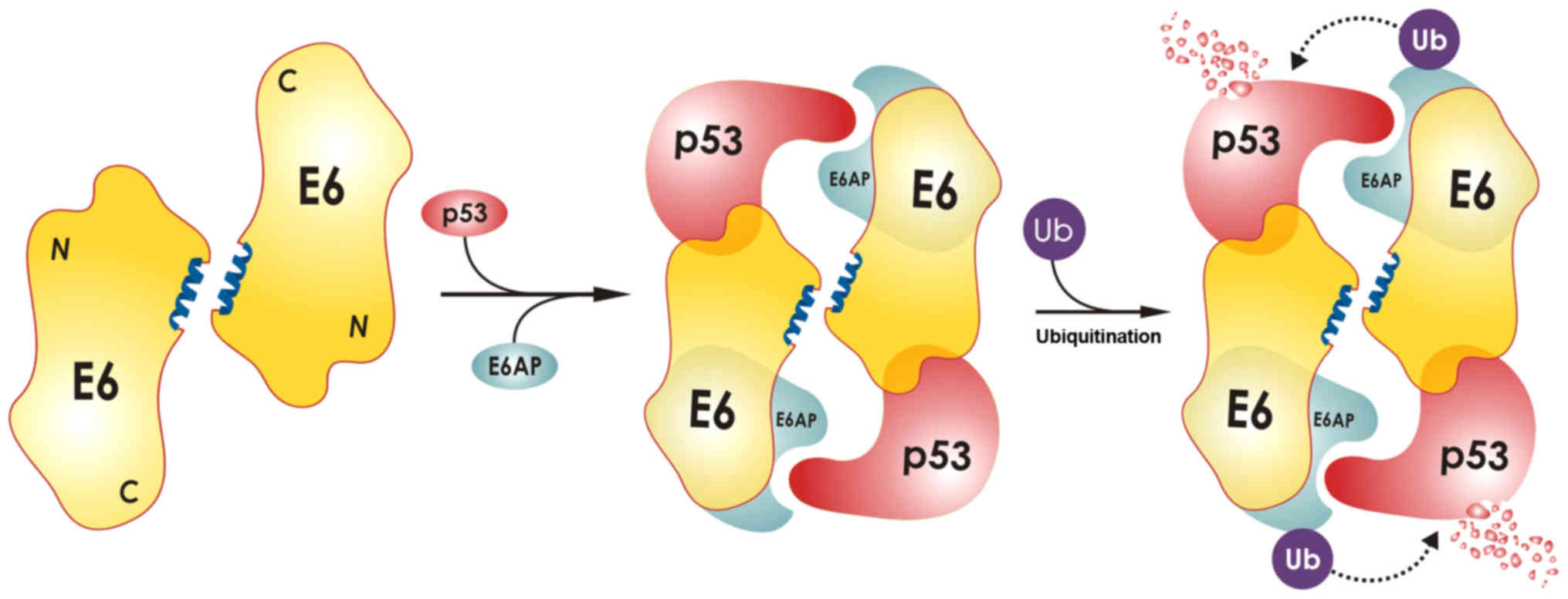 novel structural approaches concerning hpv proteins insight into