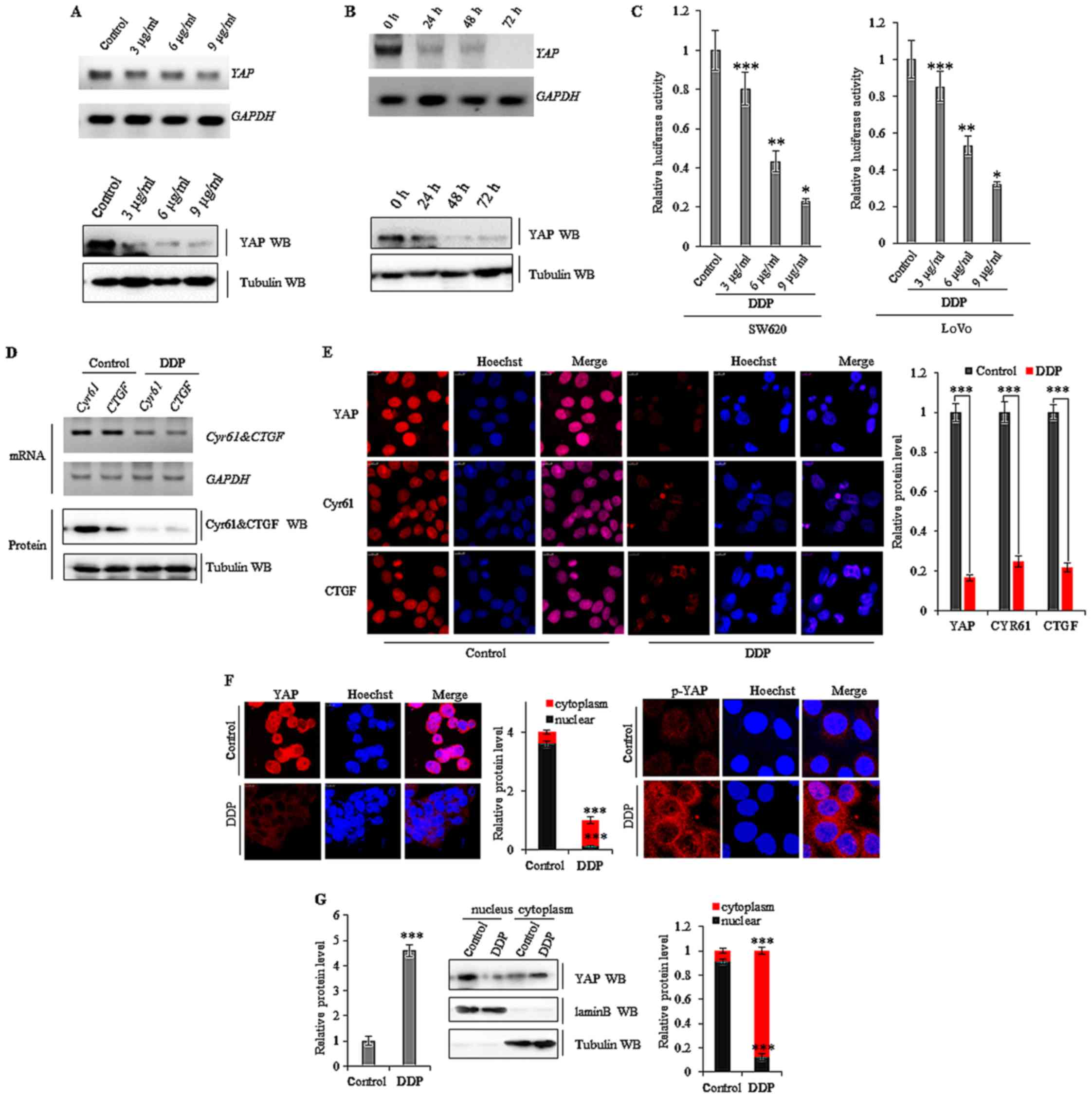 Suppression Of Yap By Ddp Disrupts Colon Tumor Progression