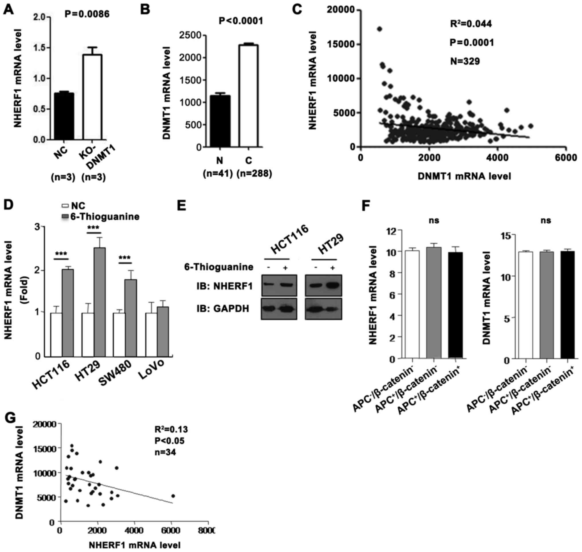 Wnt signaling pathway upregulates DNMT1 to trigger NHERF1 promoter