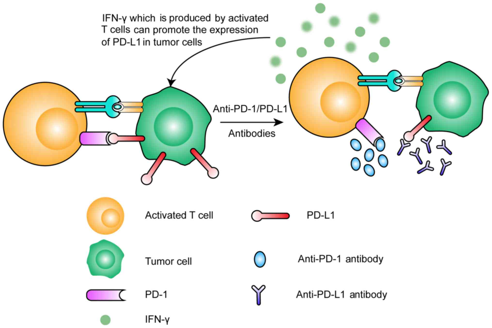 Progress of immune checkpoint therapy in the clinic (Review)