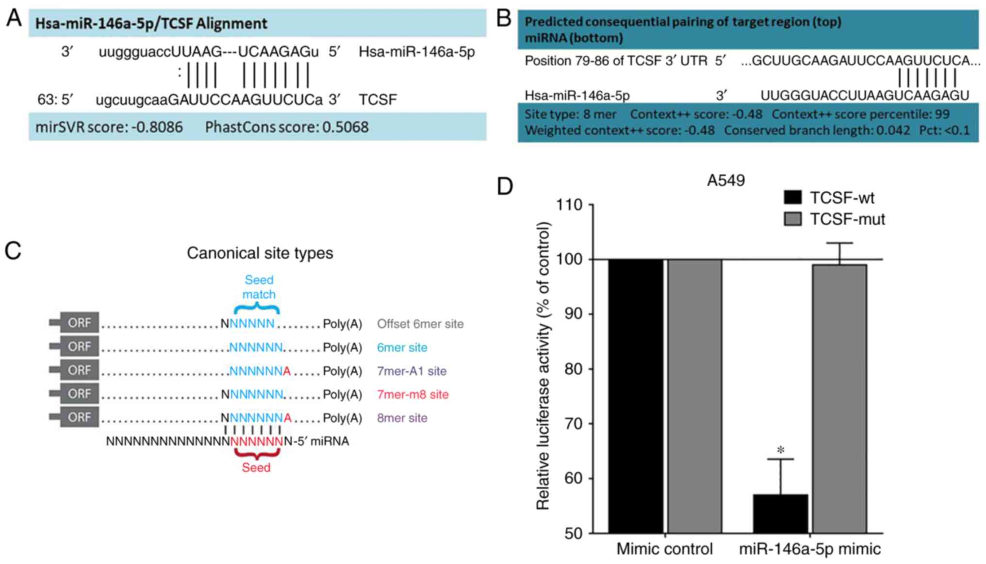 miR‑146a‑5p targets TCSF and influences cell growth and apoptosis to