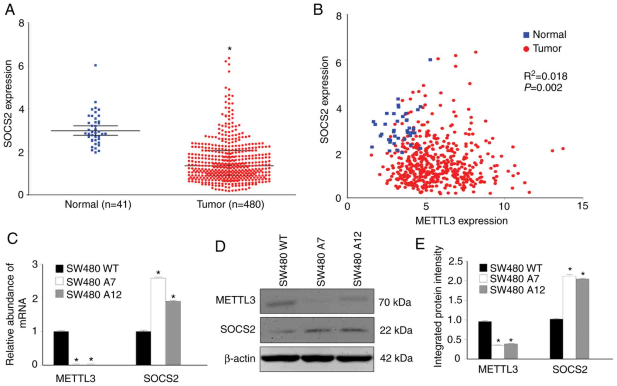 M6a Methyltransferase Mettl3 Maintains Colon Cancer Tumorigenicity By Suppressing Socs2 To Promote Cell Proliferation